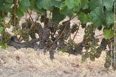 Figure 1. Example of  severe powdery mildew on Chardonnay in Santa Barbara County in 2017.
