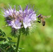 Honey bee heading toward Phacelia tanacetifolia, also known as a lacy phacelia. (Photo by Kathy Keatley Garvey)