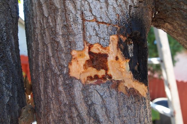 An example of wood discoloration due to Fusarium dieback. Photo credit: Eskalen Lab, UC Riverside