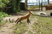 Sacramento Valley fox pup. (Photo: Mark Statham)