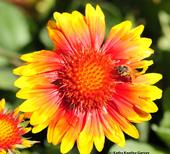 Honey bee on blanket flower, Gaillardia. (Photo by Kathy Keatley Garvey)