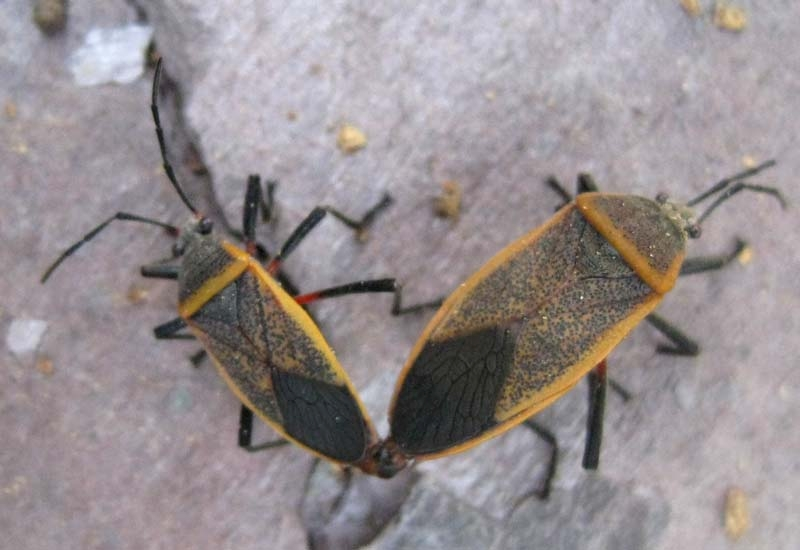 Adult bordered plant bugs. No need to spray when bordered plant bugs appear in the garden