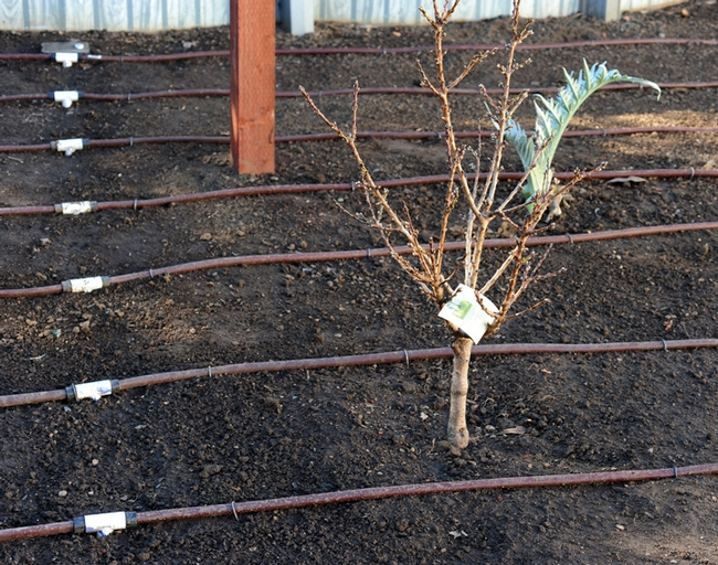 A newly planted peach tree among the drip lines. (Photo by Kathy Keatley Garvey)