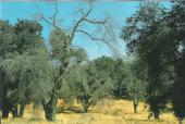Along with insects and disease, the drought of 1987-1992 apparently contributed to the decline and death of these California live oak trees.