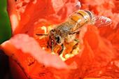 Honey bee foraging on a pomegranate blossom. (Photo by Kathy Keatley Garvey)