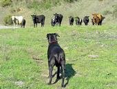 A black labrador retriever observes a herd of cattle grazing on grass.