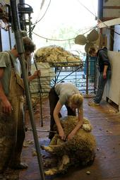 Stephany Wilkes shears a 150-lb Targhee-Columbia ewe at Hopland Research and Extension Center.