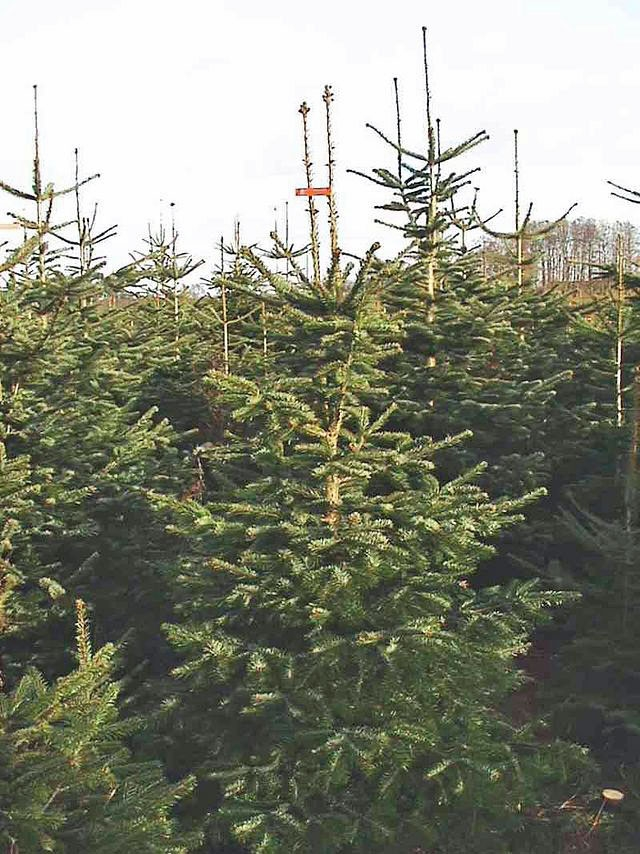 Christmas tree farmers growing Nordmann fir asked to look out for ...