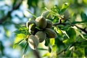 These almonds are still in the hull on the tree. Using the orchard biomass, hulls and shells for renewable power generation, soil amendment and dairy feed reduces the carbon footprint.