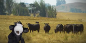 In a new series of videos, a cow puppet provides advice for hikers from UC Cooperative Extension on sharing open space with livestock.