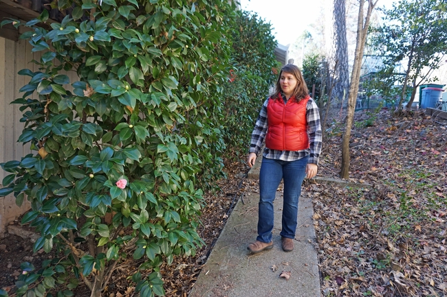 A thick hedge of camellias borders the side of the home. Although ideally homes should have a five-foot zone immediately surrounding the house clear of burnable objects and plants, she didn't have the heart to pull them all out when they were full of flower buds.