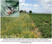 Strip of wildflowers along the edge of tomato field with inset photo of Hyposoter parasitic wasp attacking beet armyworm larva.
