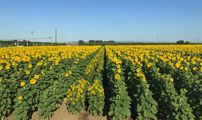 Sunflowers are a potential drought-resistant rotation crop in the Southern California desert.