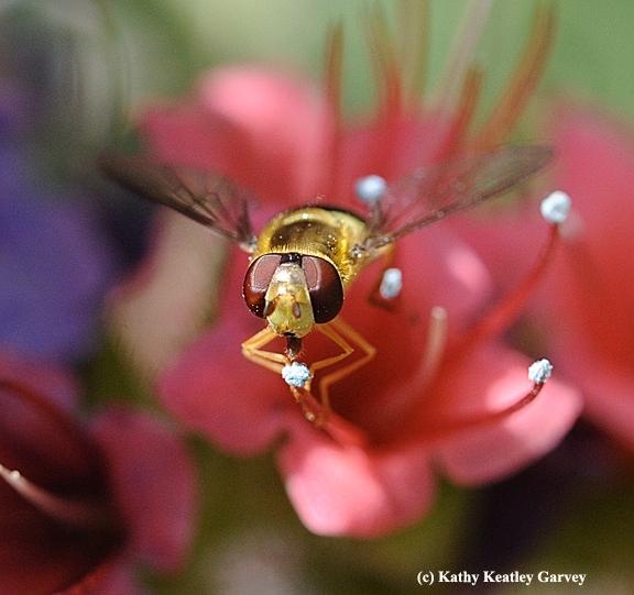 A syprhid fly, aka