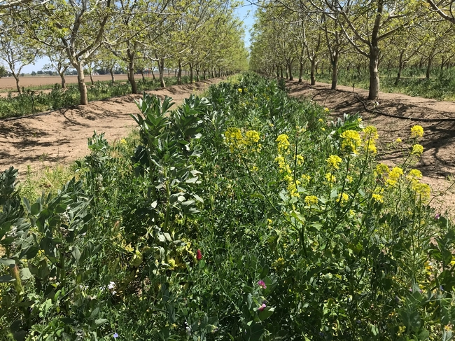 Cover crop in a walnut orchard with flowers to attract beneficial insects, Yolo County, 2018.