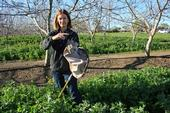 UCCE advisor Rachael Long holding a lacewing, a beneficial insect that feeds on aphids. She is standing in a cover crop in a walnut orchard. (Photo: California Farm Bureau)