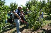 UC Davis plant sciences professor Ted DeJong demonstrates proper fruit tree pruning techniques.