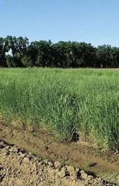In the second year of production, switchgrass in El centro yielded 17.6 tons per acre, and productivity tends to increase through the third and fourth years.