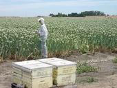 Rachael Long monitors pollinator activity in a hybrid onion seed field. Honey bee hives (foreground) are placed in fields to promote pollination. (Photo: Edwin Reidel)