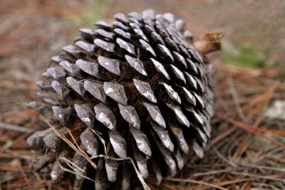 Pine cone w400