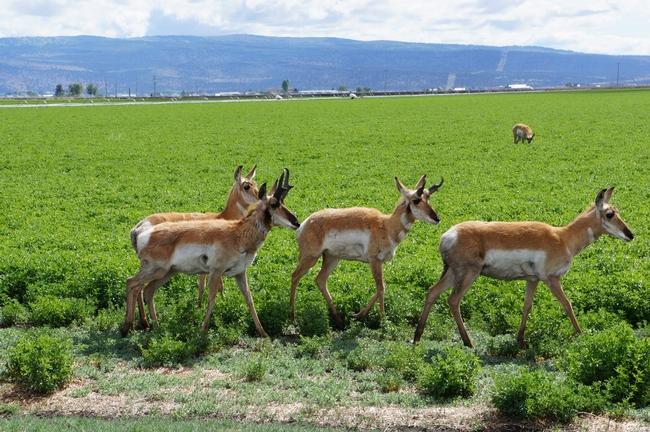 Antelope Roaming at IREC