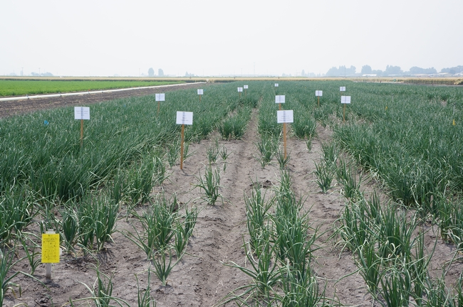 Onion research plots at IREC.
