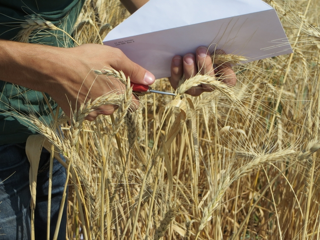 Hand harvest wheat at IREC