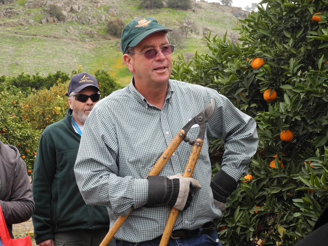 UCCE Farm Advisor Craig Kallsen explains how to properly prune a citrus tree.