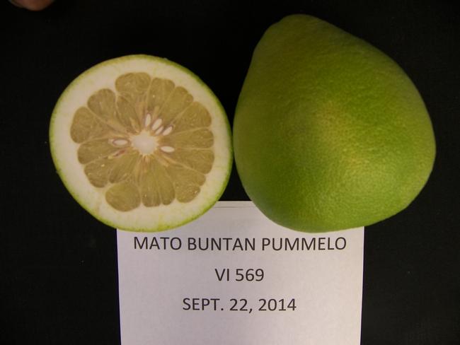Mato Buntan pummelo Sept. 22, 2014 Lindcove REC.
