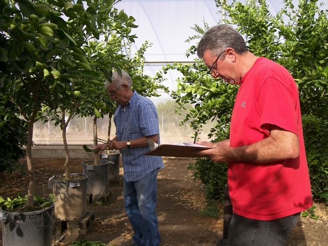 John Bash and Raul Gonzalez conduct the fall 2011 citrus budwood cut for the CCPP