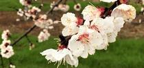 SFREC Orchard White Blossoms Close-up March 2019 for SFREC News Blog