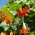 Crocosmia and bean plant