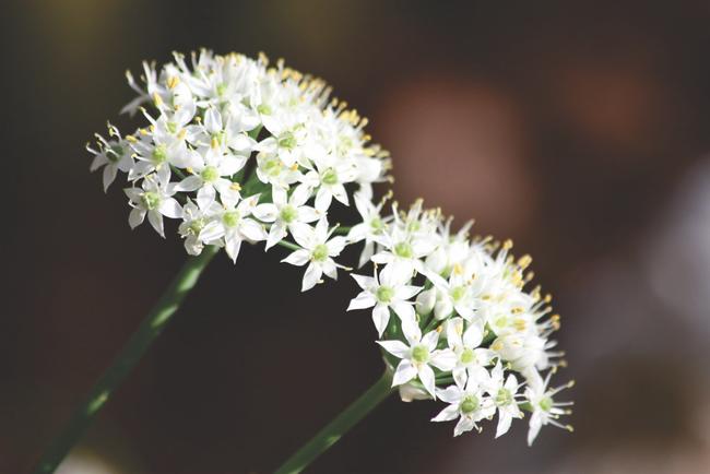 Wild onion flowers