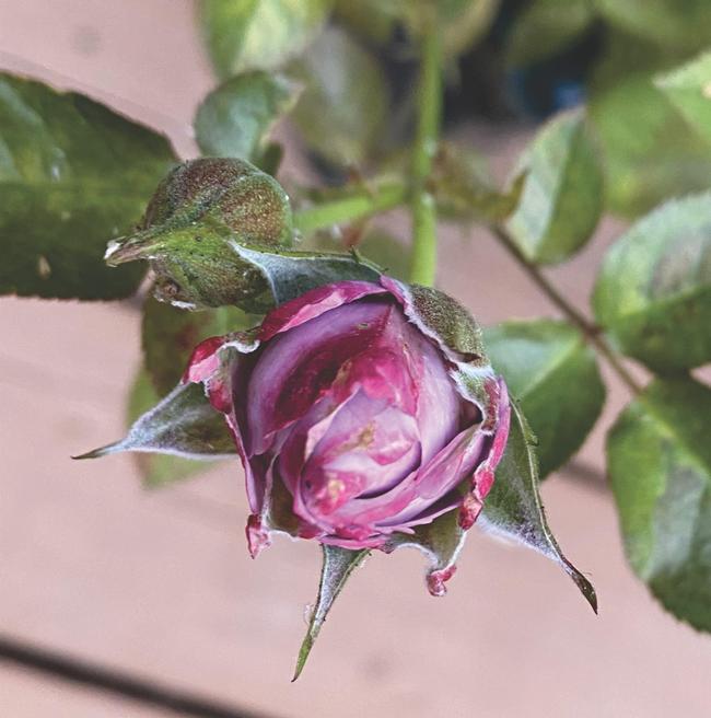Possible Hoplia beetle damage on rose bud