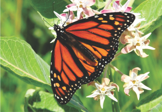 Monarch butterfly on Asclepias speciosa
