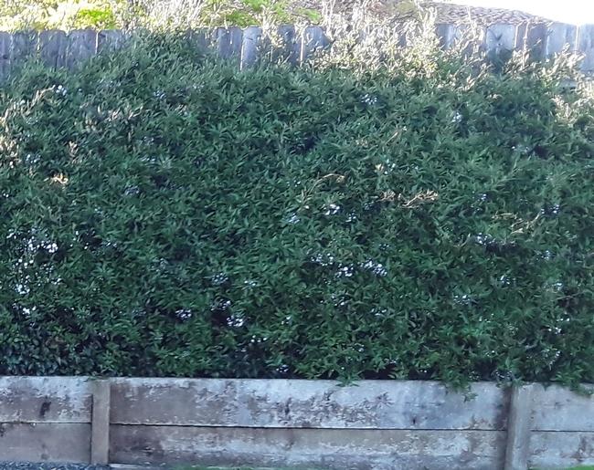 A-original height of vine