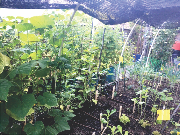 Cucumbers climbing inside the raised bed