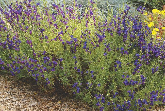 Penstemon Margarita BOP – Penstemon heterophyllus