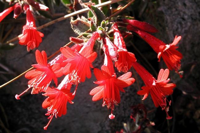California fuchsia – Epilobium canum