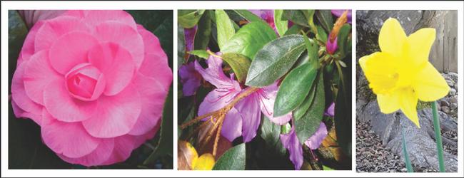 Camellia, Azalea, Daffodil