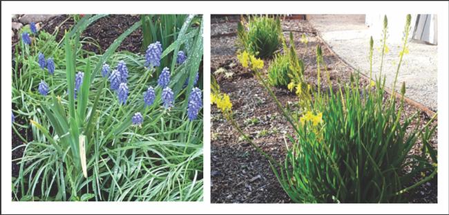 Grape hyacinth & Cape balsam