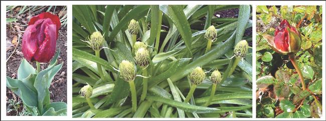 Tulip, Allium, Rosebud