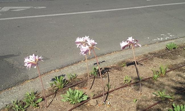 Naked Ladies (Amaryllis Belladonna) in parking strip