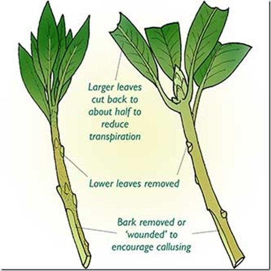 Leaf cutting asexual propagation cutting