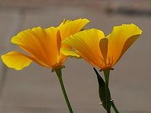 220px-Yellow Poppy