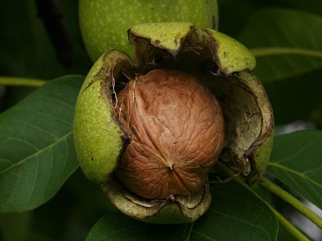 Walnut inside a hull or husk