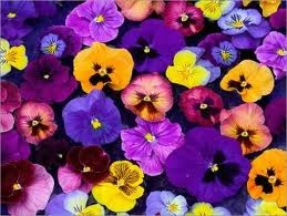 Colorful pansy flowers.