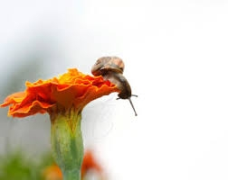 snail on marigold
