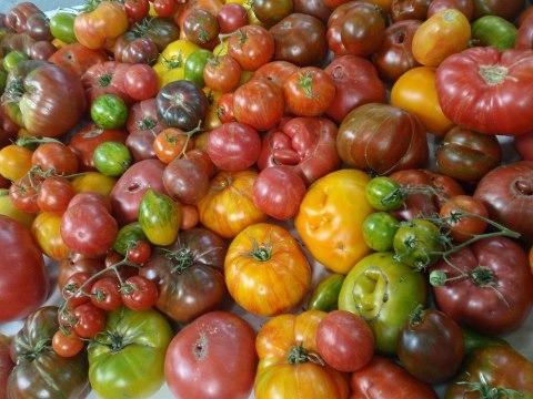 tomatoessonomaMGs