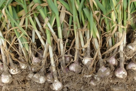 garlic in the garden